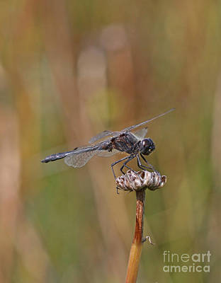 Dragonfly Photograph - Black Meadowhawk by Gary Wing