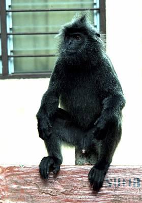 Black Monkey Original by Shazeen Shukri