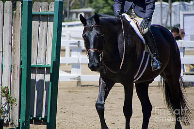 Photograph - Black Morgan Horse Hunter Jumper by Waterdancer