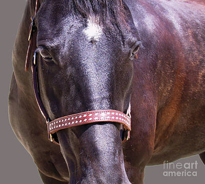 Photograph - Black Morgan Horse by Waterdancer