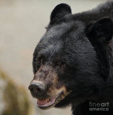 Photograph - Black Mother Bear Juneau Alaska by Loriannah Hespe