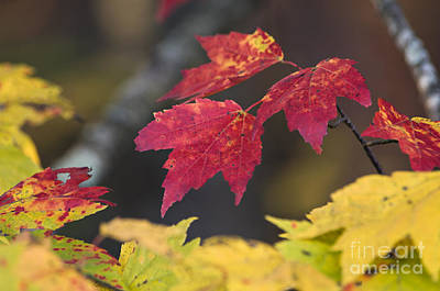 Photograph - Black Mountain Maple - D009732 by Daniel Dempster