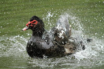 Photograph - Black Muscovy Duck, Cairina Moschata by Elenarts - Elena Duvernay photo