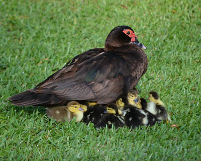 Photograph - Black Muscovy With Ducklings by rd Erickson
