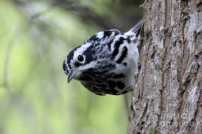 Photograph - Black-n-white Warbler by Meg Rousher