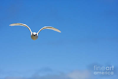 Black-naped Tern Art Print by Dave Fleetham - Printscapes