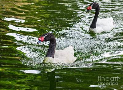 Swan Pair Photograph - Black Neck Swan Swim by Jamie Pham