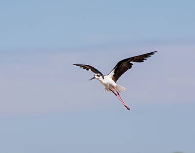 Photograph - Black Necked Stilt 2 by Allen Sheffield