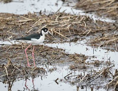 Photograph - Black-necked Stilt 2017-1 by Thomas Young