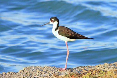 Photograph - Black-necked Stilt 3 by Shoal Hollingsworth