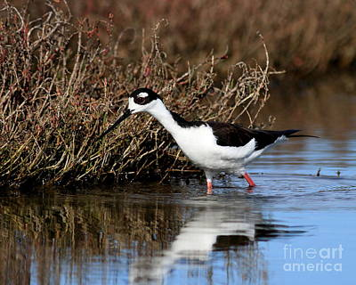 Bif Photograph - Black Necked Stilt . 5002 by Wingsdomain Art and Photography
