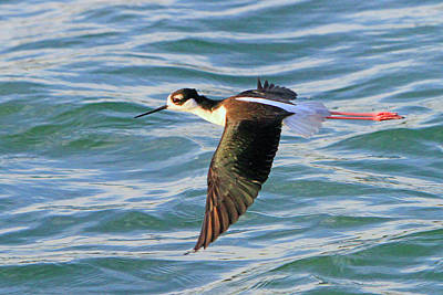 Photograph - Black-necked Stilt 6 by Shoal Hollingsworth