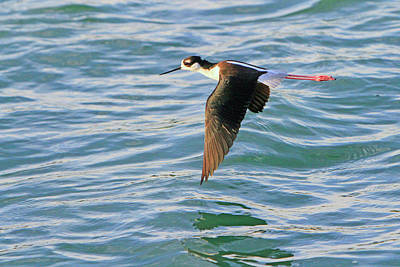 Photograph - Black-necked Stilt 7 by Shoal Hollingsworth