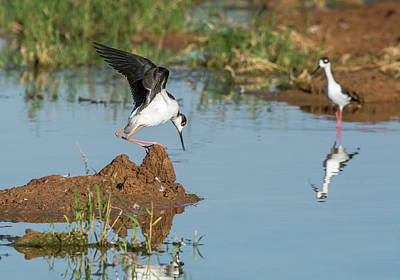 Photograph - Black-necked Stilt  7337-100817-1 by Tam Ryan