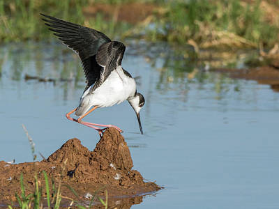 Photograph - Black-necked Stilt  7337-100817-1cr by Tam Ryan