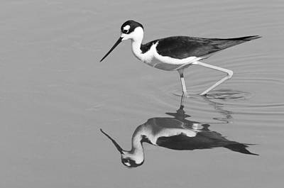 Photograph - Black-necked Stilt - Black And White - Monochrome by Ram Vasudev