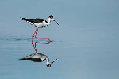 Photograph - Black-necked Stilt by Celine Pollard