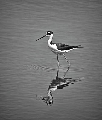 Photograph - Black-necked Stilt In Black And White by HH Photography of Florida