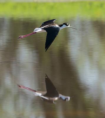 Photograph - Black Necked Stilt In Flight by Loree Johnson