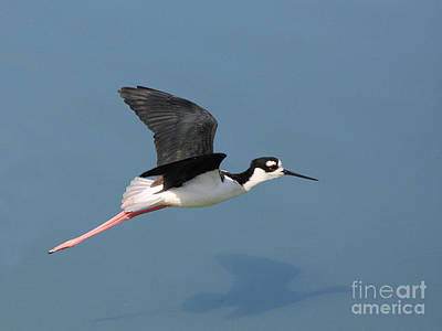 Bif Photograph - Black Necked Stilt In Flight by Wingsdomain Art and Photography