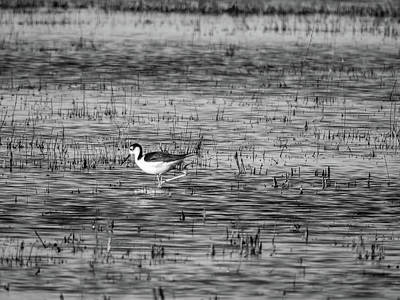 Black-necked Stilt Monochrome  Art Print