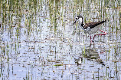 Photograph - Black-necked Stilt, No. 2 by Belinda Greb