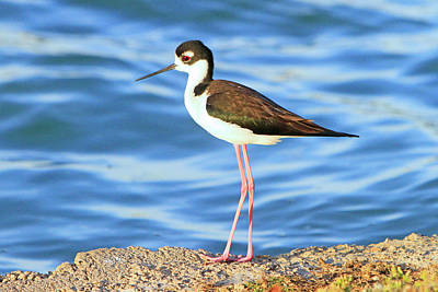 Photograph - Black-necked Stilt by Shoal Hollingsworth