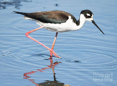 Photograph - Black-necked Stilt Wading  by Ricky L Jones