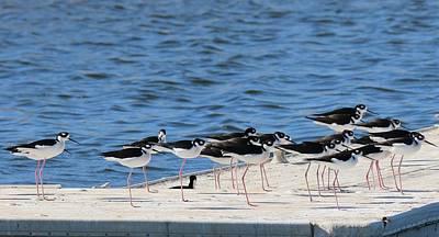 Photograph - Black-necked Stilts - 2 by Christy Pooschke