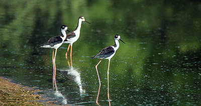 Photograph - Black-necked Stilts 4298-080917-1cr by Tam Ryan