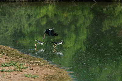 Photograph - Black-necked Stilts 4301-080917-1 by Tam Ryan