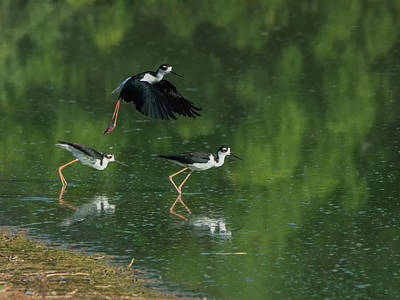 Photograph - Black-necked Stilts 4301-080917-1cr by Tam Ryan