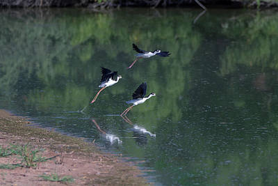 Photograph - Black-necked Stilts 4302-080917-1 by Tam Ryan