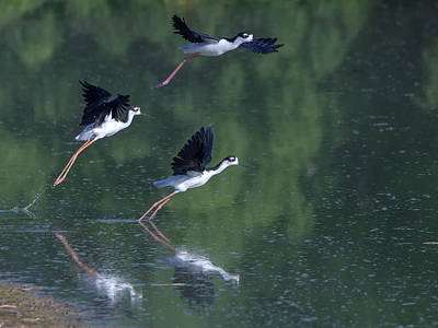 Black-necked Stilts 4302-080917-2cr Art Print