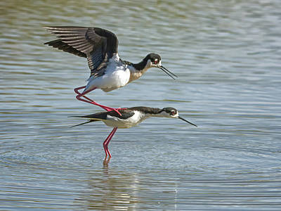 Photograph - Black-necked Stilts 5117 by Tam Ryan