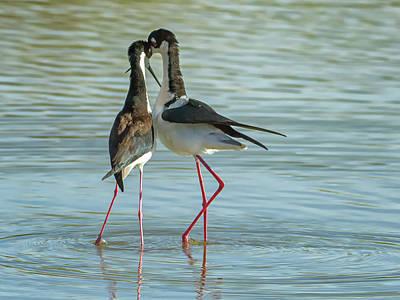 Photograph - Black-necked Stilts 5131 by Tam Ryan