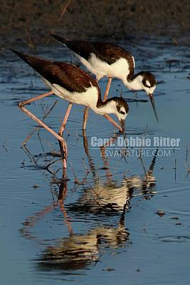 Photograph - Black Necked Stilts by Captain Debbie Ritter