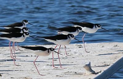 Photograph - Black-necked Stilts  by Christy Pooschke
