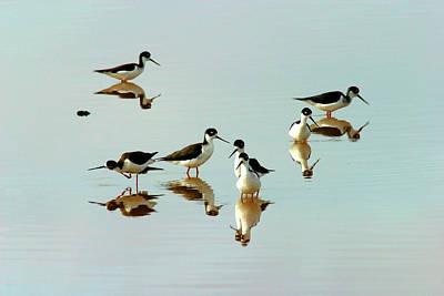 Photograph - Black-necked Stilts, San Francisco Bay Nwr, California, Usa by Robert Mutch