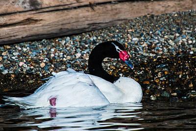 Photograph - Black Necked Swann by Walt Sterneman