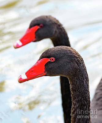 Photograph - Black Necked Swans by Colin Rayner