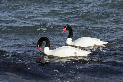 Photograph - Black-necked Swans by Michele Burgess