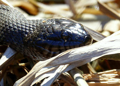 Photograph - Black Northern Water Snake by Lori Pessin Lafargue