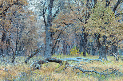 Photograph - Black Oak Forest by Jonathan Nguyen