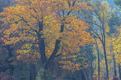Photograph - Black Oak by Jonathan Nguyen