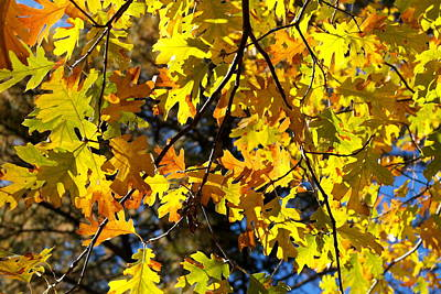 Photograph - Black Oak November by Michele Myers