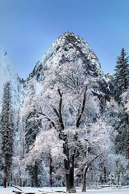 Photograph - Black Oak Quercus Kelloggii Winter Yosemite National Park California by Dave Welling