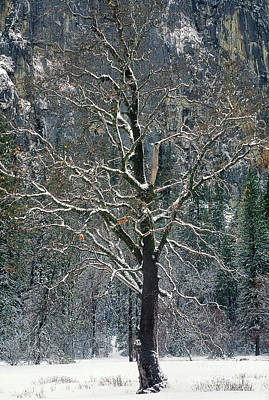Photograph - Black Oak Quercus Kelloggii With Dusting Of Snow by Dave Welling