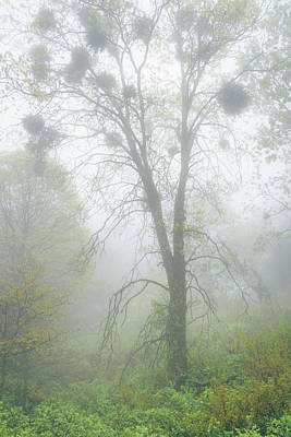 Photograph - Black Oak With Mistletoe In Fog by Alexander Kunz