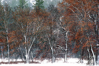 Photograph - Black Oaks In Snowstorm Yosemite National Park by Dave Welling